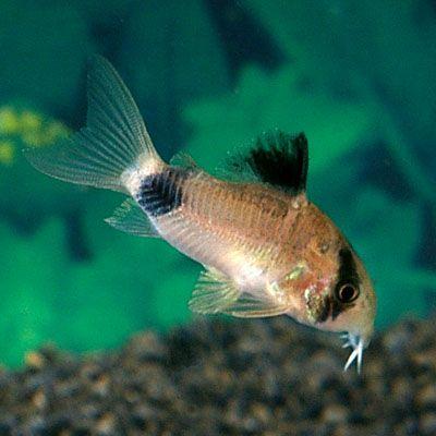 Panda Corydoras Catfish, Live Freshwater Catfish Pet