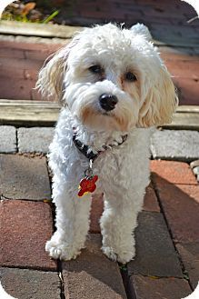 Sunny Adopted Puppy Columbus Oh Miniature Poodle Havanese