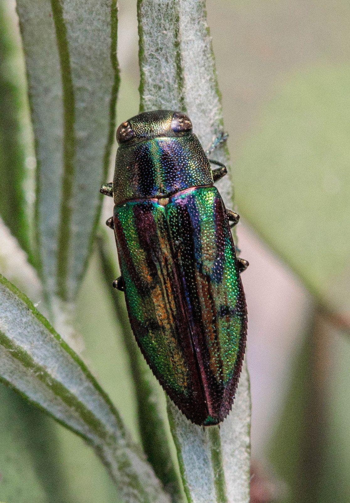 https://flic.kr/p/22jZPsd | Jewel Beetle - Melobasis innocua