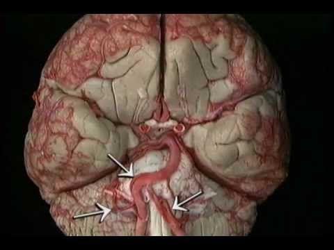 ▷ The best head and neck anatomy part II - YouTube   Neurology ...