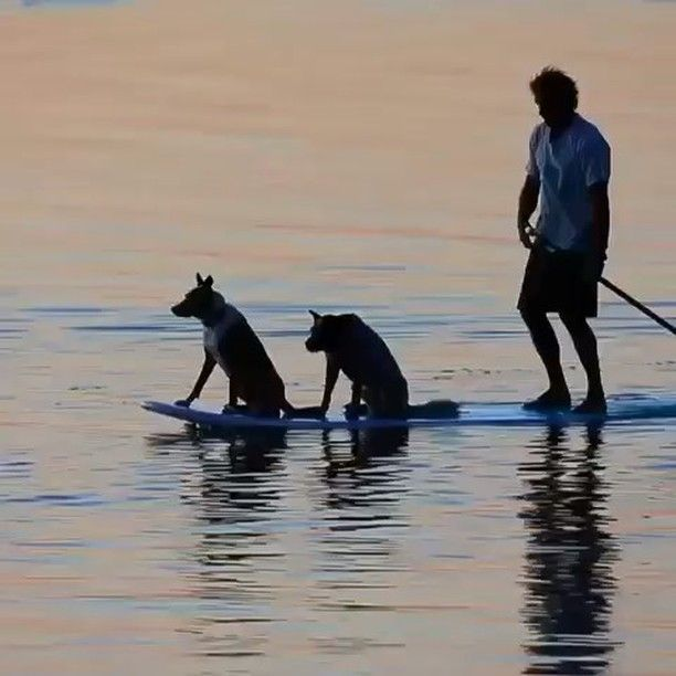 Paddling with the pack #happyfathersday #paddleboard #ocean #love #getintoit #project0 video @supdogoz