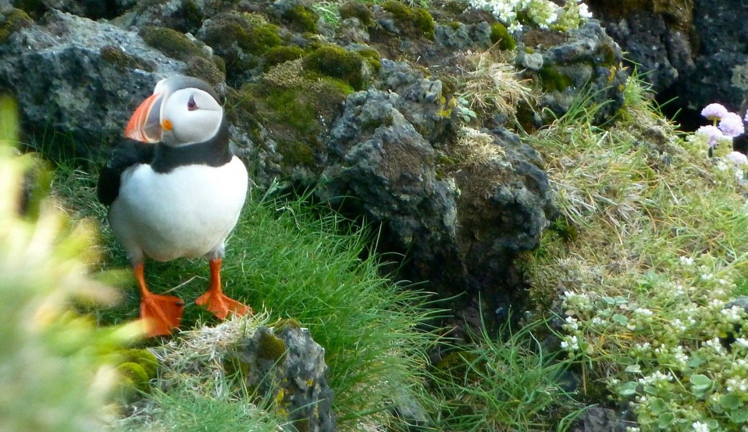 100 Crazy Puffin Facts Iceland Defrosted Iceland Iceland Resorts Iceland Travel