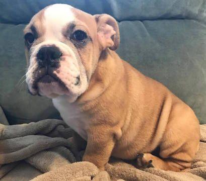 Bulldog Puppy For Sale In Summerville Sc Adn 28506 On