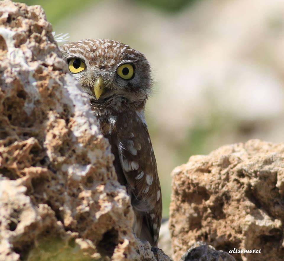 """""""Kukumav kuşu gibi oturmak"""" diye bir deyimimiz var ya işte deyimde bahsi geçen kuş... Fotoğraf: Ali Yalçın Semerci"""