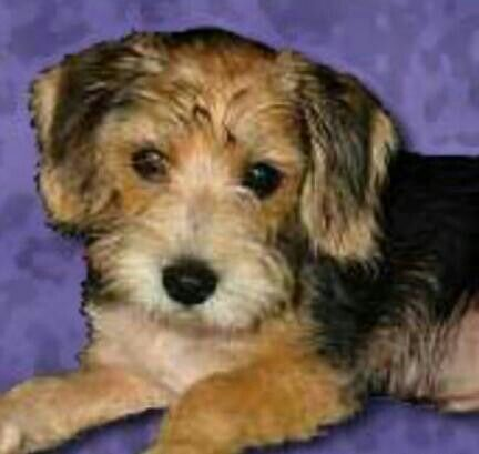 Poogle Poodle Beagle Cross Cute Dog Mixes Poodle Mix Beagle