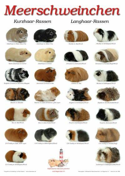 rassen meerschweinchen niedliche