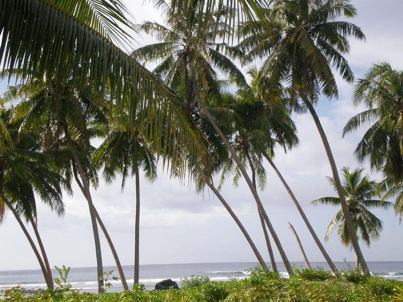Samoan Coconut Tree | Файл:Coconut trees by the sea,