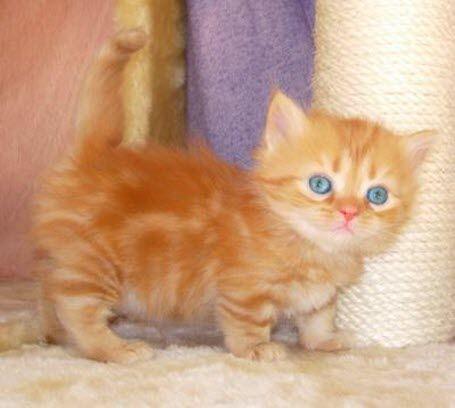 21 Munchkin Kittens That Prove Size Doesn T Matter Munchkin