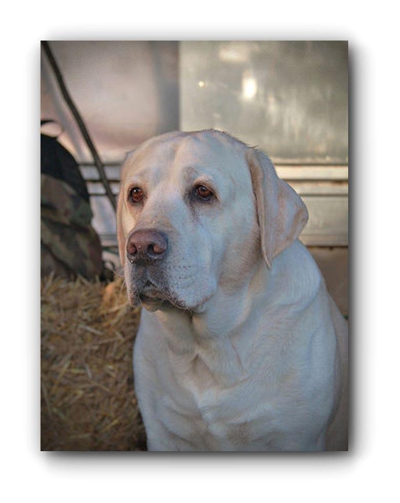Pin By 4myboys21 On Lab Love Labrador Retriever