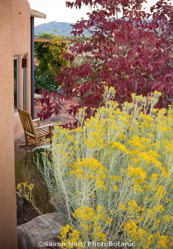 Yellow Flowering Native Shrub Chamisa Or Rabbitbrush