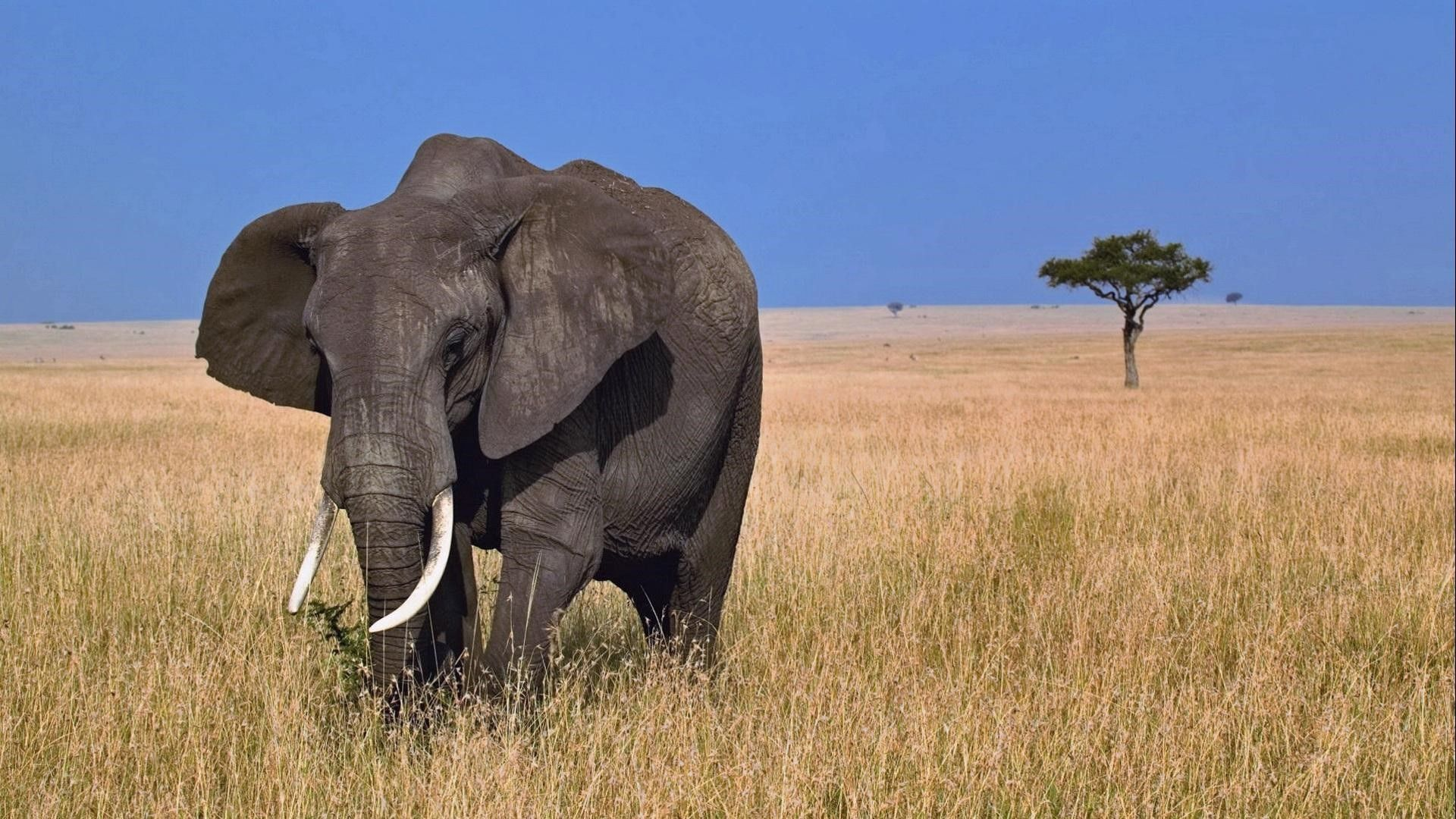 african elephan hd animal wallpapers free download | animal