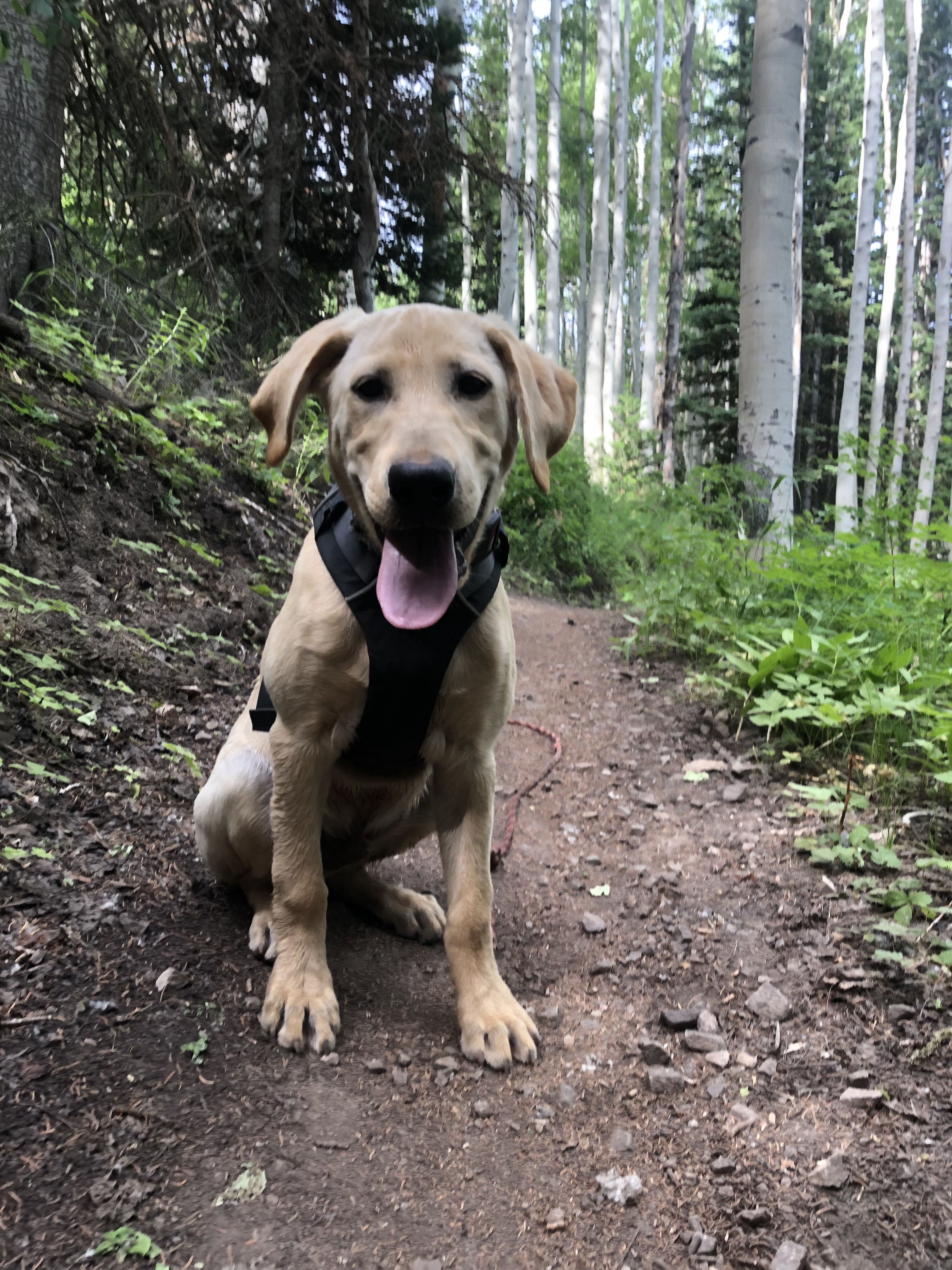 Stan Is An Avalanche Dog In Training At Canyons Mountain In Park