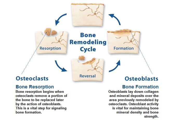 14++ Osteoblast and osteoclast activity in osteoporosis ideas in 2021