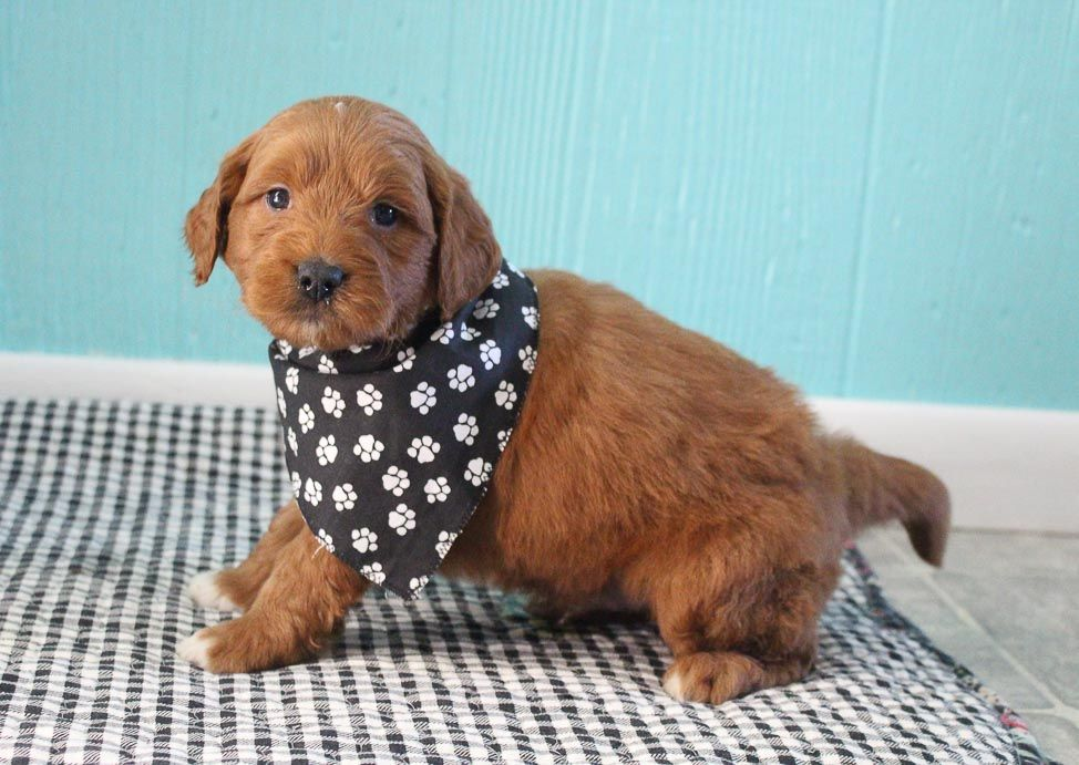 SOLD AKC Goldendoodle male pup for sale at Shipshewana