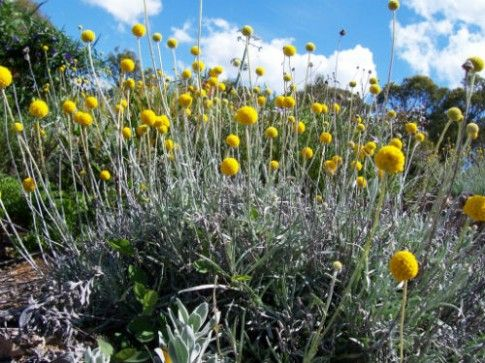 Is Billy Buttons Flower Images Any Good 15 Ways You Can Be Certain In 2020 Australian Plants Billy Buttons Plants