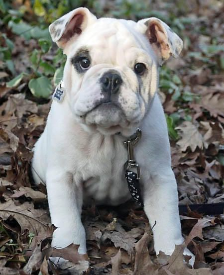 Dempsey The English Bulldog Dale Holman Maine Cute Puppy Names