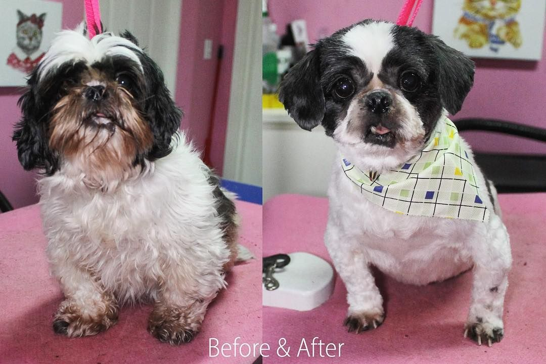 Riley Shihtzu Dog Dogs Doggrooming Doggroomer Petgroomer