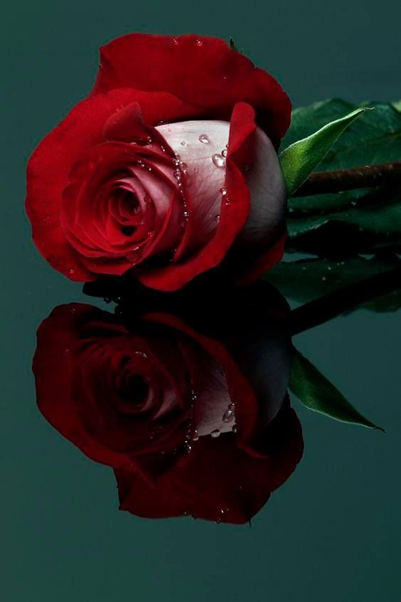 1 Facebook Beautiful Rose Flowers Beautiful Roses Red Roses
