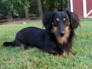 Adopt Shadow Adopted Ar On Adoptable Dachshund Dog Black Tan