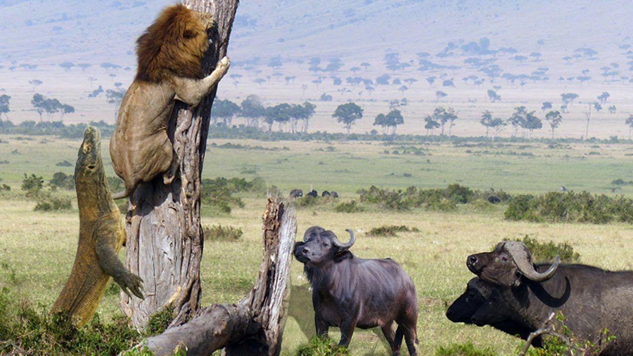 Lion Vs Dragon Komodo And Buffalo - Wild Animal Fighting
