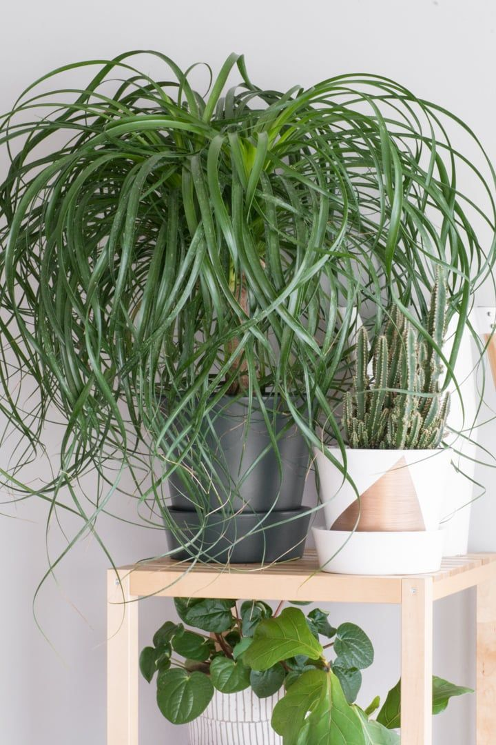 How to care for a ponytail palm palm plant plants