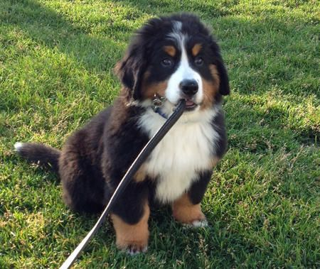 Zoey The Bernese Mountain Dog Mountain Dogs Dogs Bernese Puppy