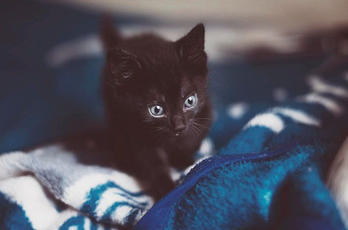 Seattle Animal Shelter Offers Free Black Cat Adoption This Black Friday Black Cat Adoption Animal Shelter Cat Adoption