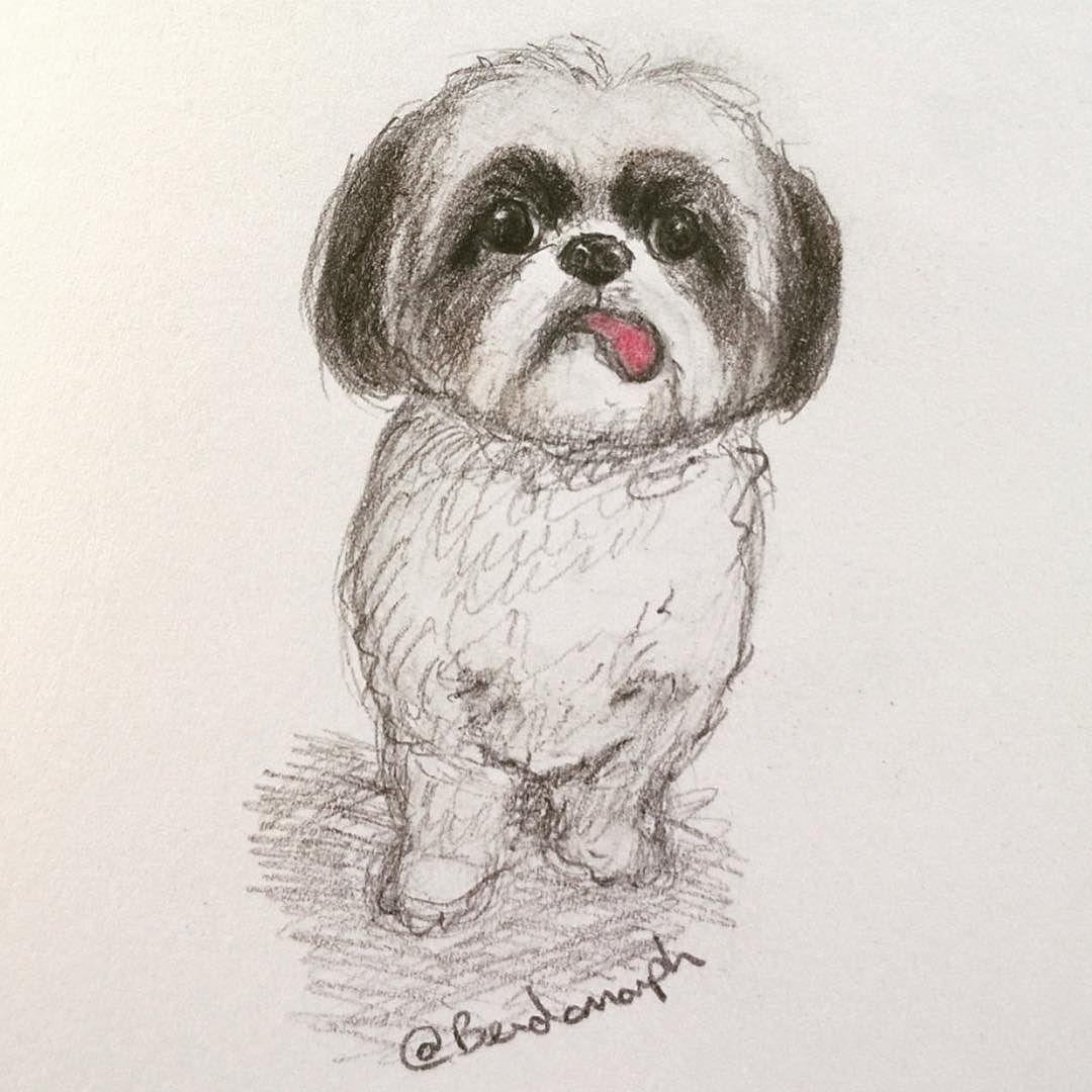 Shih Tzu Illustration Bendomorph Drew This Beautiful Portrait Of