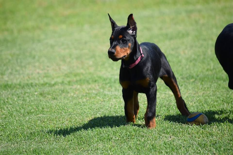 Doberman Puppy Doberman Puppy Doberman Dogs