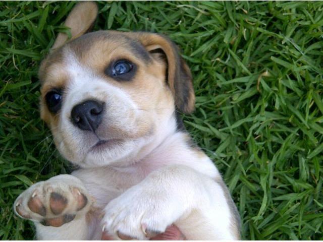Beagle Pups 2 X Female 1 X Male East Rand Puppies Pedigree