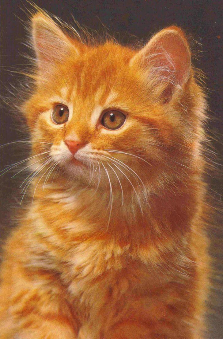 13 Superbes Photos De Chats Roux Cats Cute Cats Pretty Cats