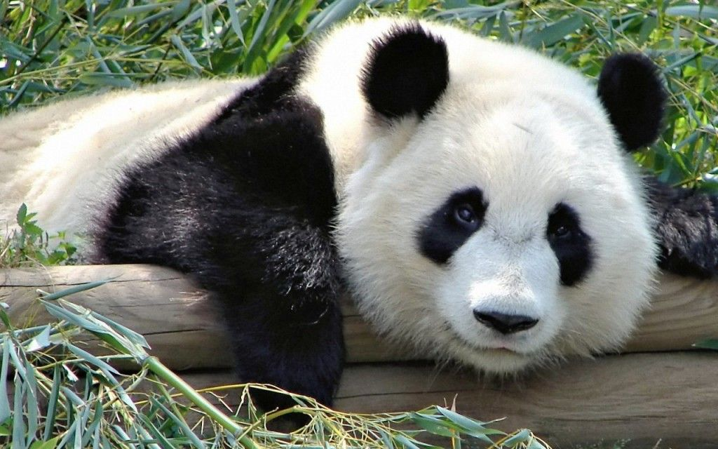 Panda Nature Wallpapers HD