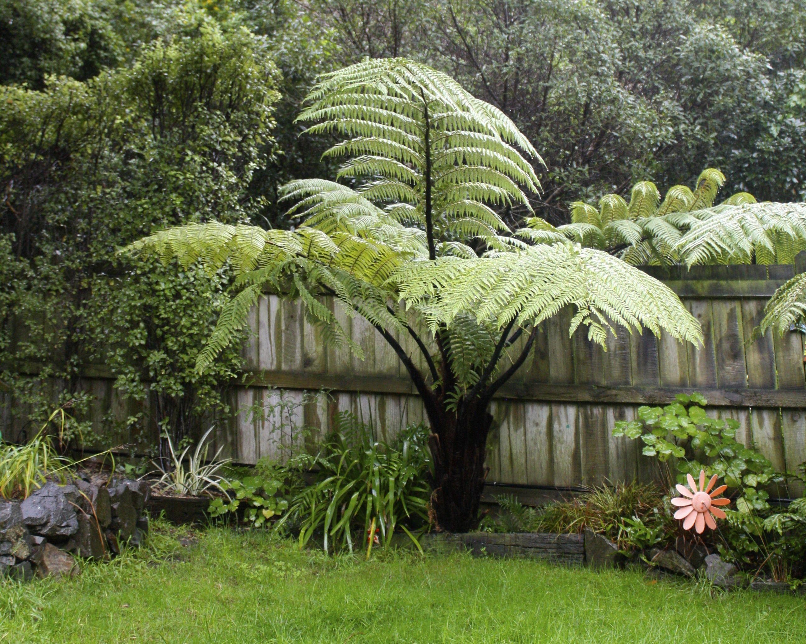 Punga fern in the garden, New Zealand Beautiful gardens