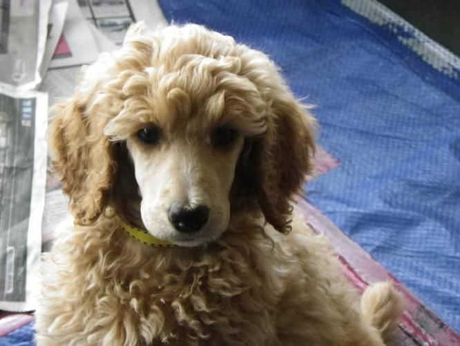 Standard Poodles Super Sweet Standard Poodle Puppies For Sale In