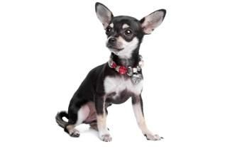 How Did This Hamilton Woman Reunite With Her Chihuahua? - http://www.dogmessenger.com/woman-reunite-chihuahua/