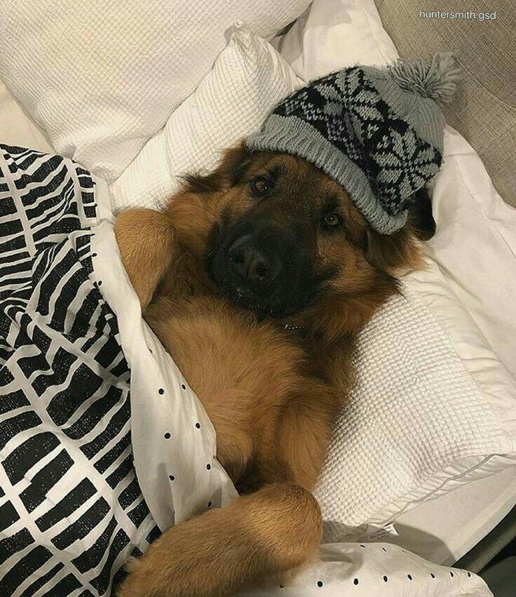 When Will My German Shepherd Puppy Sleep Through The Night Ideas