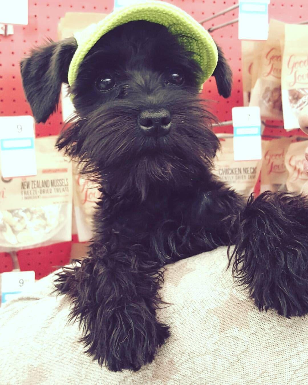29 Likes 5 Comments Little Susy Susy Mini Schnauzer On Instagram Ready Sun Littleschnauzer Susylittleschn Schnauzer Black Schnauzer Schnauzer Puppy