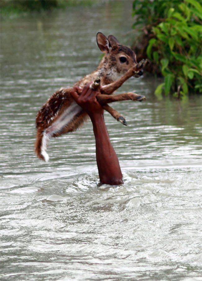 ふで@食中毒◎ retweeted:    バングラデシュの洪水で親とはぐれた小鹿を助け出した青年の写真なんだけどかっこよすぎでは…………………………???