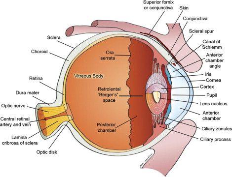 Gross anatomy of the globe (Ocular anatomy and cross ...