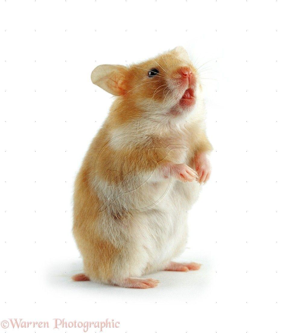 Golden Satin Syrian Hamster Bear Hamster Syrian Hamster Cute