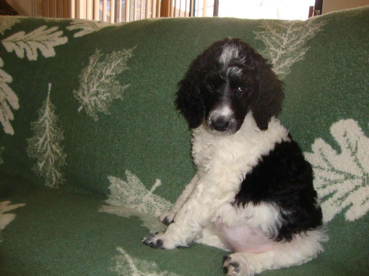 Standard Poodle Puppies Pups Rare Tuxedo Parti Colored Male Female