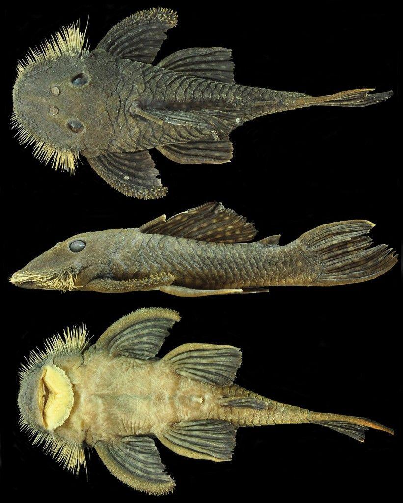 Herbivorous freshwater aquarium fish - New Catfish Species Discovered Freshwater Aquariumaquarium