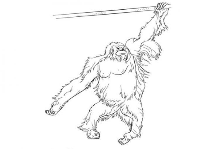 Sumatran Orangutan Coloring Page Sumatran Orangutan Orangutan