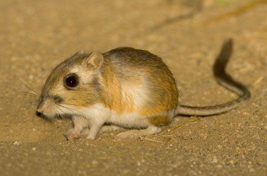 stephens kangaroo rat photograph by mark chappell anthrophysis
