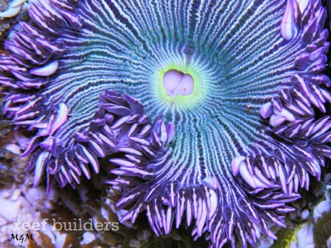 The Beauty Of The Flower Anemone An Under Appreciated Gem For Any Reef Aquarium Color Saltwater Aquarium Fish Reef Aquarium Salt Water Fish
