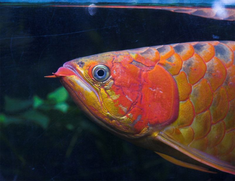 rare arowana fish nature pinterest fish aquarium