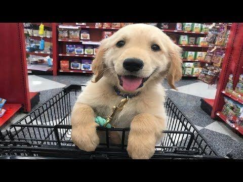 Funniest Cutest Golden Retriever Puppies Funny Puppy Videos