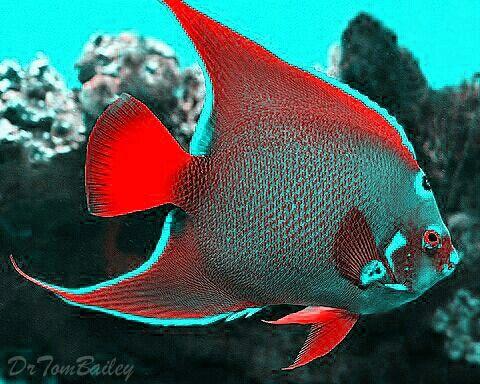 Teal Red Queen Angelfish Marine Fish Beautiful Sea Creatures Ocean Creatures