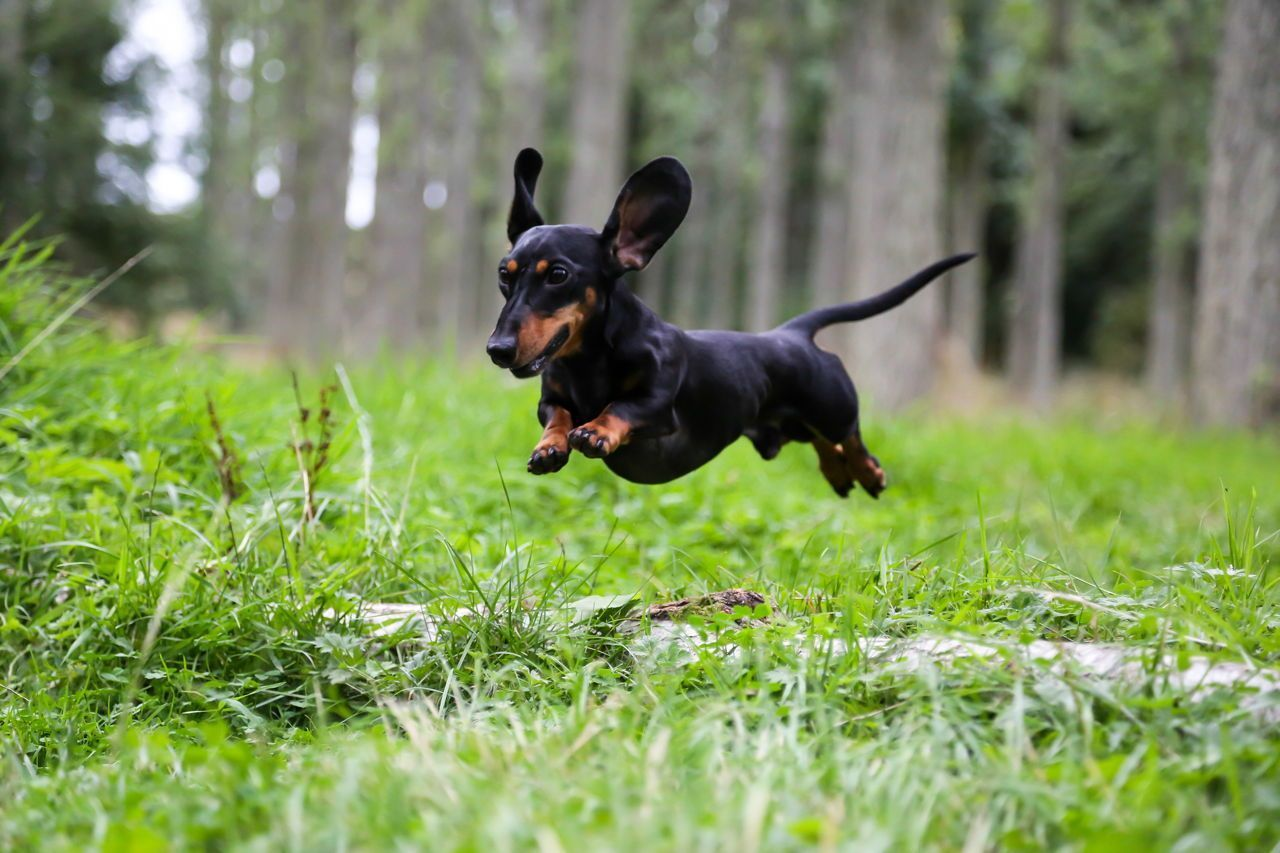 Miniature Dachshund Jumping Over A Log Dachshund Puppies