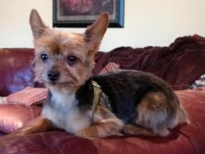 Duncan Pumpkin Is An Adoptable Yorkshire Terrier Yorkie Dog In Sewell Nj Please Contact Lindsay Lindsayx012 Yahoo Com 6 Yorkie Dogs Yorkie Cute Puppies